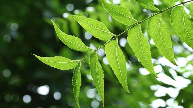 "The Benefits and Uses of Neem, the ""Wonder Leaf"""