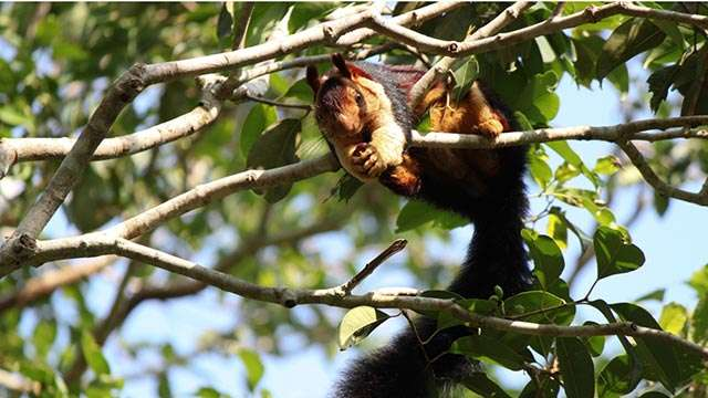 The Malabar Giant Squirrel is a picky eater.
