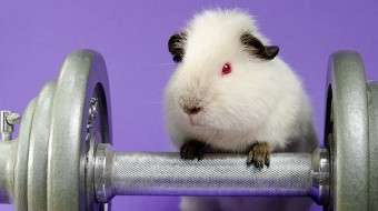 hamster-lifting-weights
