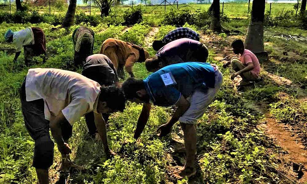 Nadi Veeras harvest Fenugreek in a farm near Isha Yoga Center